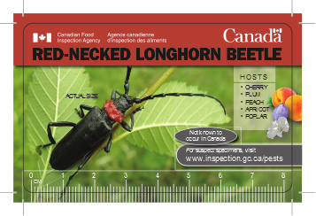 red-necked longhorn beetle